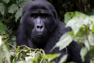 Gorilla Safari Experiences